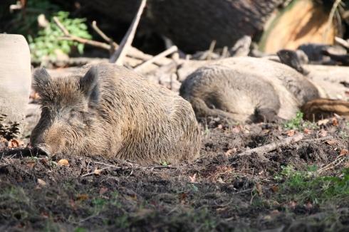 Wildschwein im Düsseldorfer Wildpark