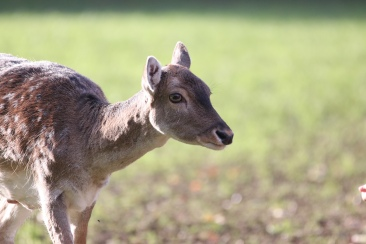 Rotwild im Düsseldorfer Wildpark